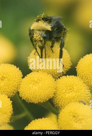 Yellow-faced Bumble Bee (Bombus vosnesenskii) on Common Tansy flower, Nisqually River, Washington - Stock Photo