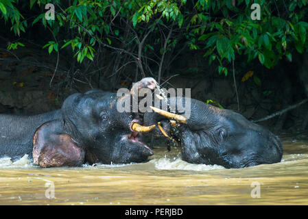 A pair of young male Borneo pygmy elephants playing in the water in Kinabatangan River in Sabah, Malaysia (Borneo). - Stock Photo