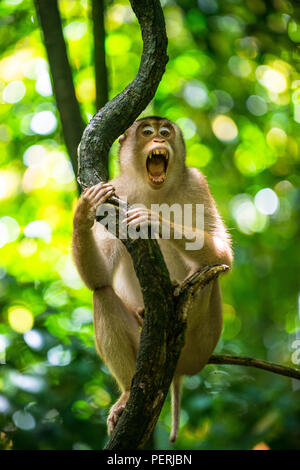 A southern pig-tailed macaque sitting in a tree looking at the camera and yawning, in the rainforest at Gomantong Caves, Sabah, Malaysia (Borneo) - Stock Photo