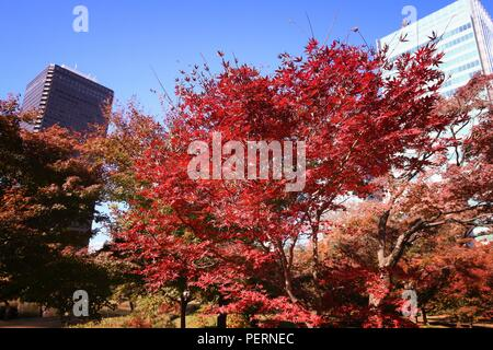 Autumn in Tokyo - maple tree red leaves and office buildings. - Stock Photo