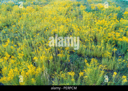 Ragweed field in summer. Natural background - Stock Photo