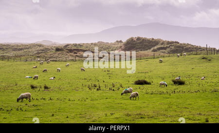 A flock of sheep graze on pasture on the sand dunes of Inch Strand in Dingle Bay, in Ireland's County Kerry. - Stock Photo