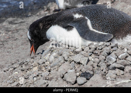 Female gentoo penguin tending to its stone nest in Antarctica - Stock Photo
