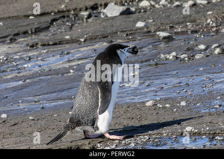 Lone chinstrap penguin walking on a beach in Antarctica - Stock Photo