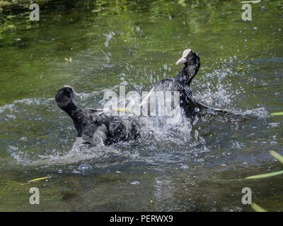 Fighting Eurasian Coots - Stock Photo