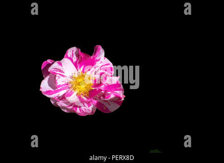 Bright pink and white beautiful Rosa Rugosa rose isolated on black - Stock Photo