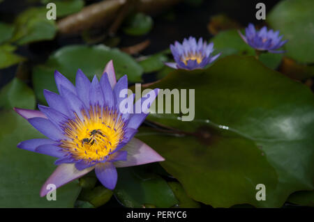 Sacred blue lily (Nymphaea caerulea) with honey bees in the centre, on pads in a small pond - Stock Photo