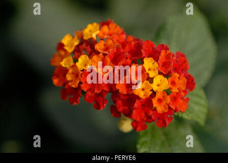 Two clusters of Lantana camara flowers with leaves in the background - Stock Photo