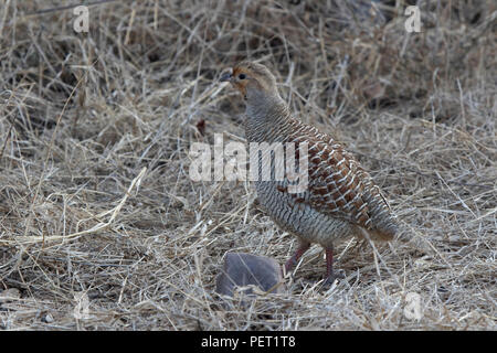 male Grey Francolin standing in the middle of a dry grass at the edge of a winter forest - Stock Photo