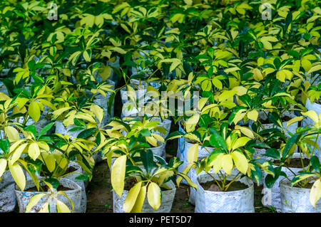 Organic vegetable cultivation farm growing in greenhouse future agriculture for safety food. Nursery plant in bags containing high nutrient soil. Prep - Stock Photo