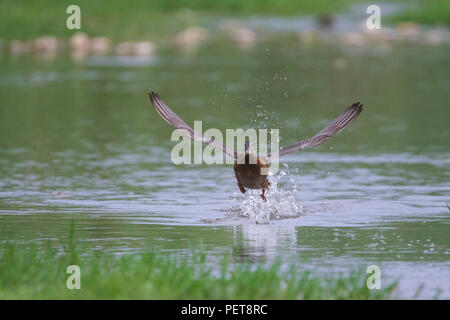 Female Mallard Duck (Anas platyrhynchos) taking off on the surface of the river - Stock Photo