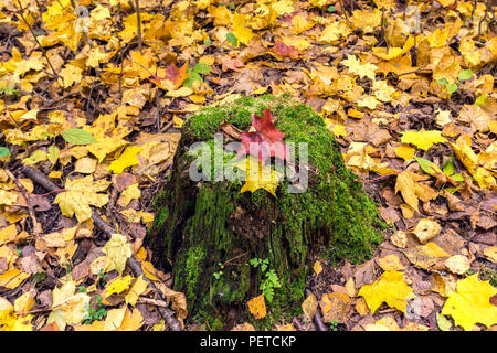 Mossy old tree stump with colorful red and yellow maple leaves. Forest floor. Vivid autumn background. Season colors - Stock Photo