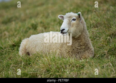 Isolated adult sheep female resting on quite dry grass. - Stock Photo