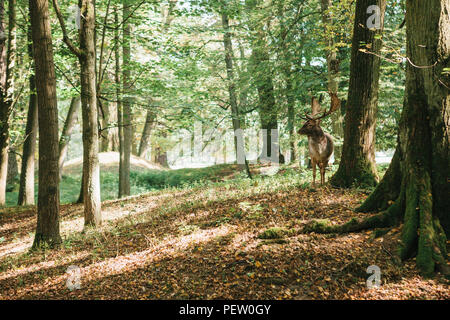 Beautiful deer with branched horns stands on a hill in an autumn forest among trees. Wild deer in the natural habitat. - Stock Photo