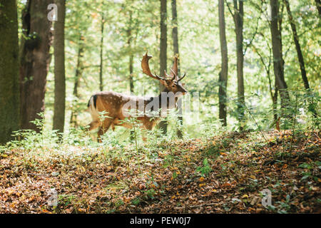 Beautiful deer with branched horns stands on a hill in an autumn forest among trees. Selective focus on grass, deer blurred in the background. - Stock Photo