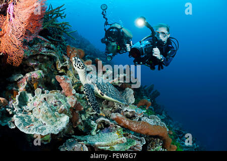 One diver shooting a digital SLR and another diver with a video camera line up on a hawksbill turtle, Eretmochelys imbricata, on an Indonesian reef. T - Stock Photo