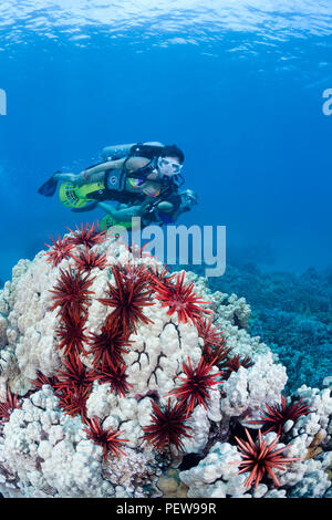 Two female divers (MR) on underwater scooters cruise over a coral head, peppered with slate pencil sea urchins off Maui, Hawaii. - Stock Photo