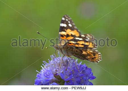 Ein Distelfalter (Vanessa cardui, Syn.: Cynthia cardui), ein Schmetterling aus der Familie der Edelfalter (Nymphalidae) auf einer Blüte. - Stock Photo