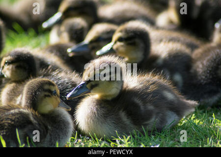 A bunch of ducklings huddled together enjoying the sun - Stock Photo