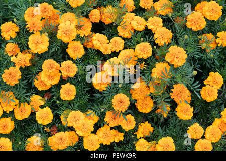 Tagetes patula 'Bonanza orange'. French marigold flowers