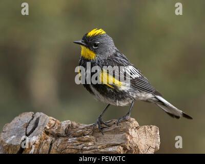 Male Yellow-rumped 'Audubon's' Warbler (Setophaga coronata), Lake County Oregon - Stock Photo