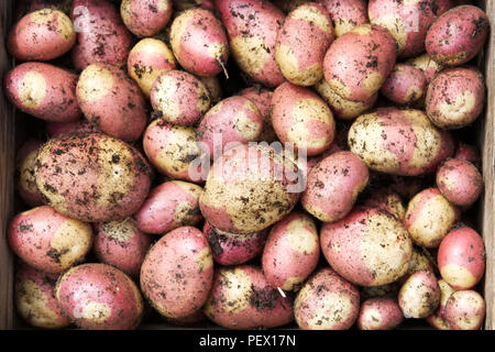 Solanum tuberosum 'Pink Gypsy'. Freshly harvested Potato 'Pink Gypsy' in a wooden crate. - Stock Photo