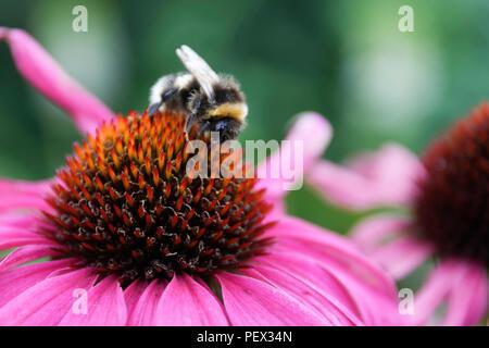 Bumblebee feeding on Echinacea Purpurea 'Magnus' - Stock Photo