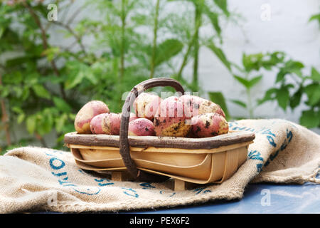 Solanum tuberosum 'Pink Gypsy'. Freshly harvested Potato 'Pink Gypsy' in a trug. - Stock Photo