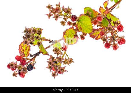 Blackberry branch with immature berries. Studio Photo - Stock Photo