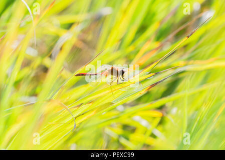 White-faced Meadowhawk (Sympetrum obtrusum) Perched on Grasses in Morning Sun in Colorado - Stock Photo