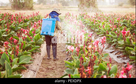 planter spraying pesticide in partition Canna at sunset. - Stock Photo