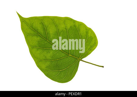 Texture of a bodhi leaves on a white background. - Stock Photo