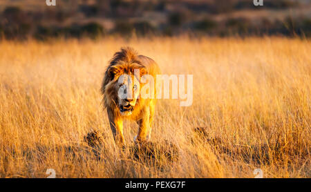 Snarling young male Mara lion (Panthera leo) prepares to attack a rival on the grasslands of the Masai Mara, Kenya in typical aggressive behaviour - Stock Photo