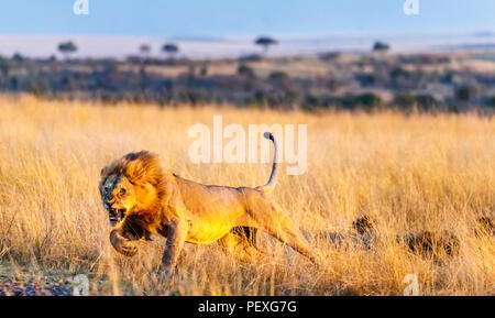 Snarling young male Mara lion (Panthera leo) charges to attack a rival on the grasslands of the Masai Mara, Kenya in typical aggressive behaviour - Stock Photo