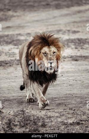 A solitary adult male Mara lion (Panthera leo) purposefully walks towards the camera, in morning light, Masai Mara, Kenya - Stock Photo