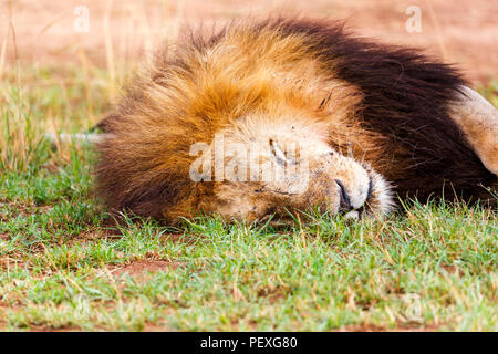 Close up view of the head of a dozing adult male Mara lion (Panthera leo) peacefully sleeping on grass in the daytime in the Masai Mara, Kenya - Stock Photo