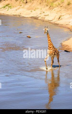 Male Masai giraffe (Giraffa camelopardalis tippelskirchi) standing in water crossing the Mara River, Masai Mara, Kenya, with a view of the riverbank - Stock Photo