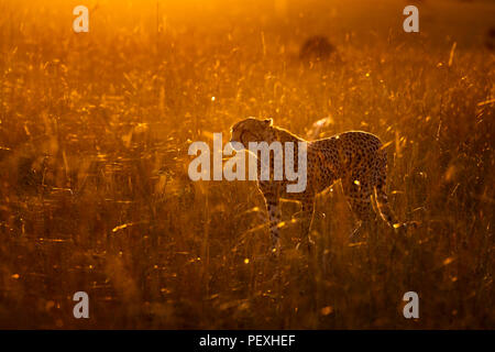 Adult female cheetah (Acinonyx jubatus) backlit by early morning sun stands watchful and alert in grassland in the Masai Mara National Reserve, Kenya - Stock Photo