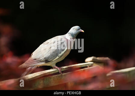 Close up of a common wood pigeon (Columba palumbus) sitting on a wooden fence in the garden against black garden, UK. - Stock Photo