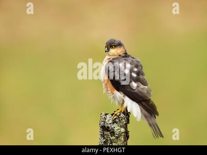 Close up of male Eurasian Sparrowhawk (Accipiter nisus) perching on a wooden post, Scotland, UK. - Stock Photo