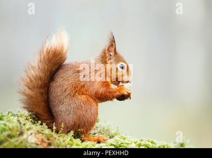 Isolated Eurasian red squirrel (Sciurus vulgaris) eating nut on a mossy log. - Stock Photo
