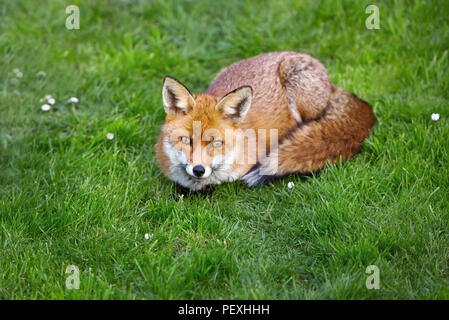 Close up of a red fox lying on the grass in summer, UK. - Stock Photo