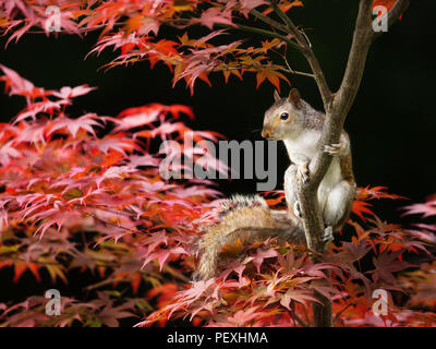 Close-up of a Grey Squirrel sitting on a colorful Japanese Maple tree in summer, UK. - Stock Photo