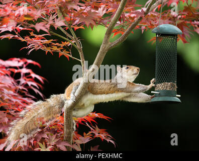Close-up of a Grey Squirrel eating from a bird feeder on a colorful Japanese Maple tree - Stock Photo