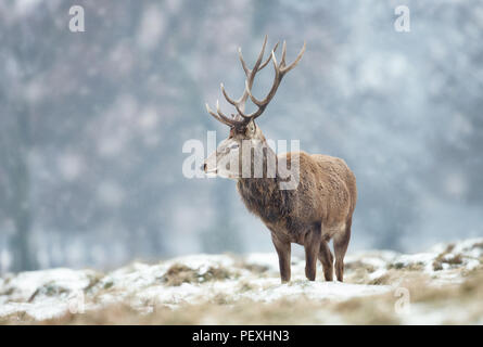 Close up of a Red deer stag standing on the ground covered with snow during winter in UK . - Stock Photo