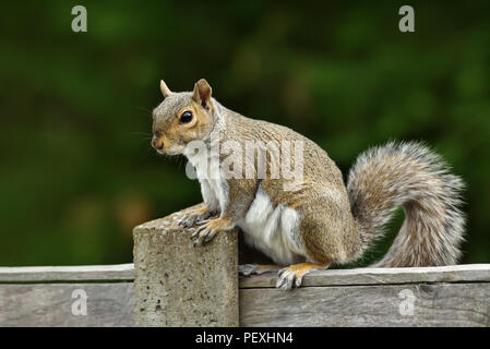 Close up of a grey squirrel sitting on a fence, UK - Stock Photo
