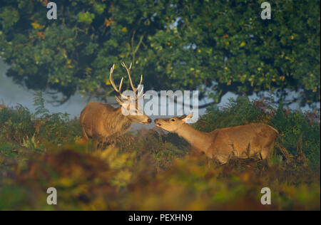 Close up of a red deer stag with a hind on a sunny misty morning in UK - Stock Photo