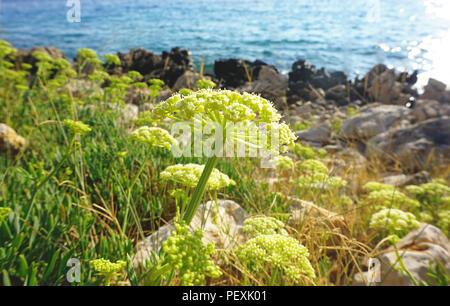 Crithmum maritimum or rock samphire or sea fennel healthy and edible Mediterranean herb - Stock Photo