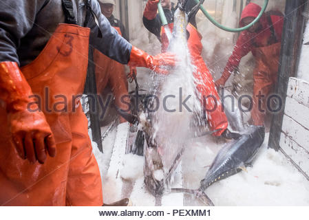 Fishermen cleaning yellowtail fish on fishing boat, San Diego, California, USA - Stock Photo