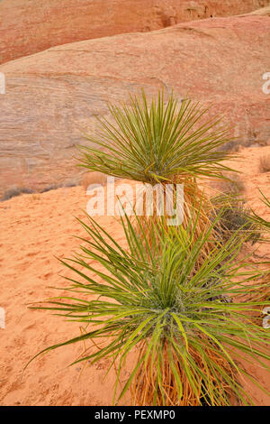 Weathered red rock formations with yucca along the White Dome trail, Valley of Fire State Park, Nevada, USA - Stock Photo